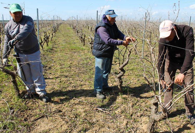 Le travaille dans les vignobles